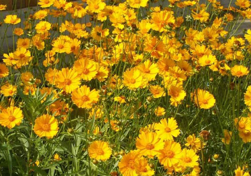 lance-leaved-coreopsis-seeds
