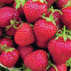 Allstar-Strawberry-Plants.jpg