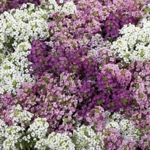 Alyssum_Wonderland_Mix.jpg