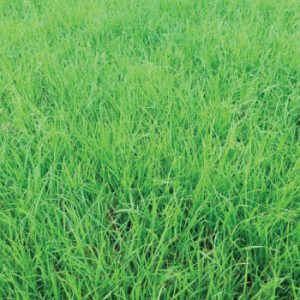 Annual-Ryegrass-Field.jpg