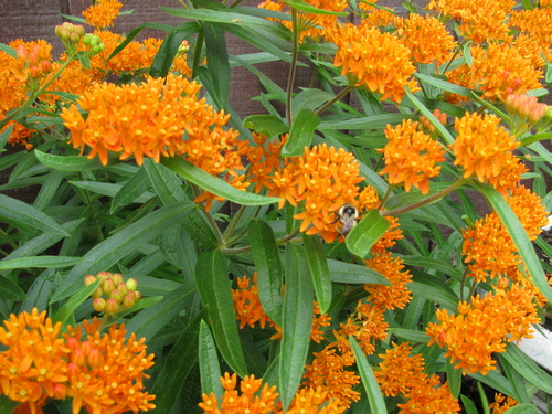 Butterfly Asclepias Butterfly Weed Urban Farmer Seeds