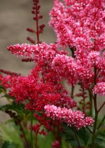 Astilbe_Bella_Mix.jpg