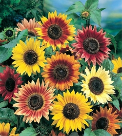 Autumn_Beauty_Sunflower.jpg