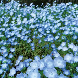 Baby-Blue-Eyes-Nemophila-Seeds.jpg