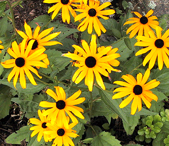 Black eyed susan rudbeckia seeds urban farmer seeds mightylinksfo