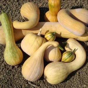 Baker's Choice Marbled F1 Winter Squash