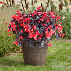 Begonia Viking XL Red on Chocolate Flower