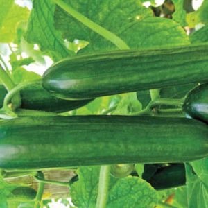 Beit-Alpha-Cucumber-Seeds.jpg