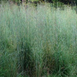 Big_Bluesteam_Grass_Seed.jpg