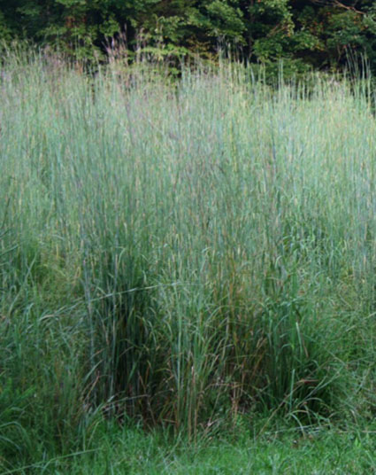 Big bluestem ornamental grass seed urban farmer seeds workwithnaturefo