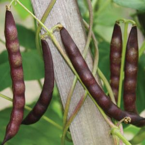 black-turtle-bean-seeds