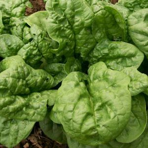 bloomsdale-spinach-seeds
