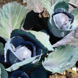 Blue-Lagoon-Cabbage-Seeds.jpg
