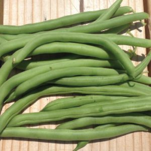 Blue-Lake-Bush-Beans.jpg