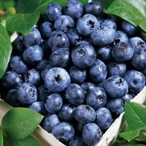 Blue-Ray-Blueberry-Plant.jpg