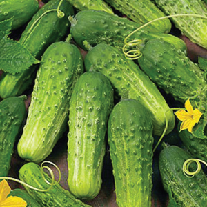 boston-pickling-cucumber-seeds