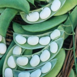 Burpee-Improved-Lima-Bean-Seeds.jpg