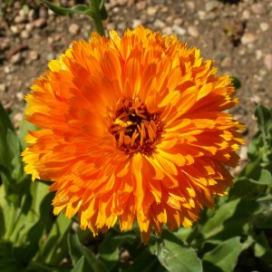 Orange Ball Calendula