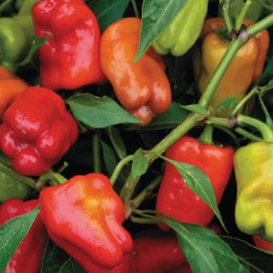 Cajun-Belle-Pepper-Seeds.jpg