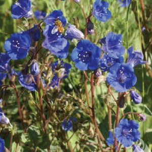 California-Bluebell-Seeds.jpg