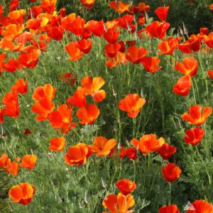 California-Poppy-Seeds.jpg