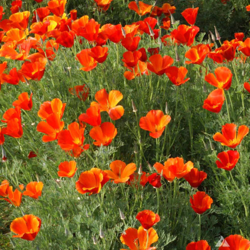 California poppy seeds urban farmer seeds california poppy seedsg mightylinksfo