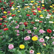 California-Zinnia-Annual-Seeds.jpg