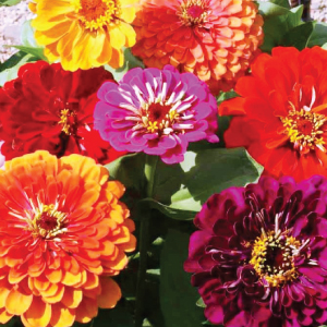 California-Zinnia-Seeds.jpg