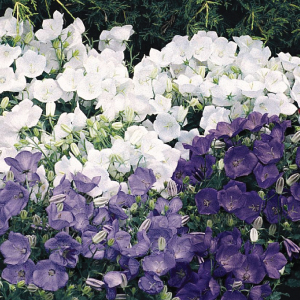 Campanula-Carpatica-Clip-Mix-Seeds.jpg