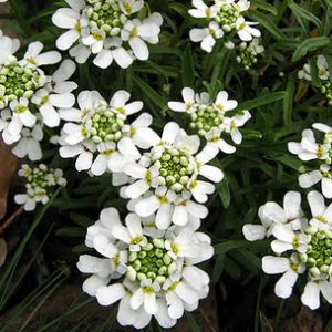 Candytuft_Snow_White.jpg