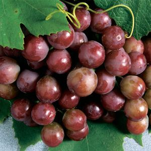 Catawaba_Red_Grape_Plants.jpg