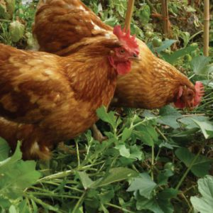 Chickens-Foraging.jpg