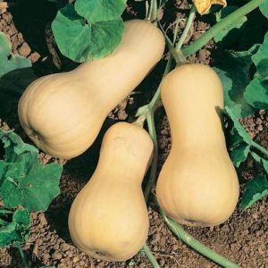 Chieftain PMT F1 Winter Squash