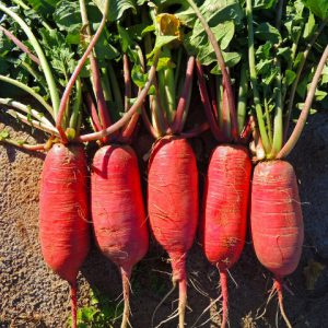 China_Rose_Radish_Seeds.jpg