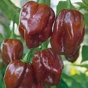 chocalate_habanero_pepper