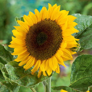 Classic Gold F1 Sunflower