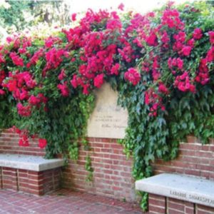 Climbing-Red-Rose-Seeds.jpg