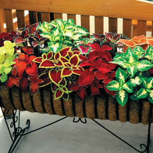 Coleus-Wizard-Mix.jpg