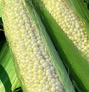 Country_Gentleman_Corn_Seed.jpg