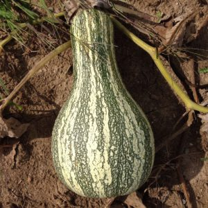 Cushaw-Green-Striped-Squash-Plant.jpg