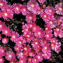 Delosperma_Table_Mountain.jpg