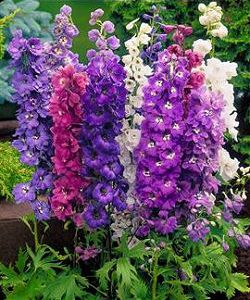 Delphinium_Magic_Fountains.jpg