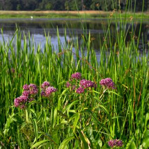 Detention Basin Flower Seeds