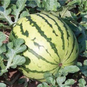 Dixie-Queen-Watermelon-Seeds.jpg