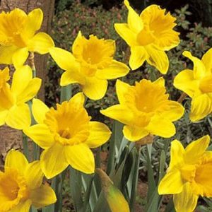 Dutch-Master-Daffodil-Bulbs.jpg