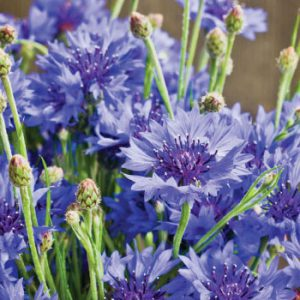 Dwarf-Blue-Cornflower-Seeds.jpg