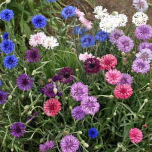 Dwarf-Mix-Cornflower-Seeds.jpg