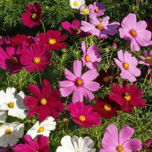 Dwarf-Mix-Cosmo-Seeds.jpg
