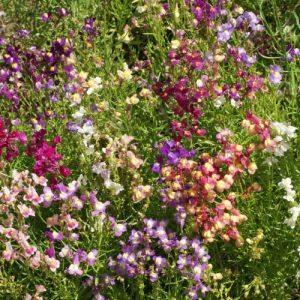 Dwarf-Mix-Snapdragon-Seeds.jpg