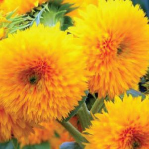 Dwarf-Sungold-Sunflower-Seeds.jpg